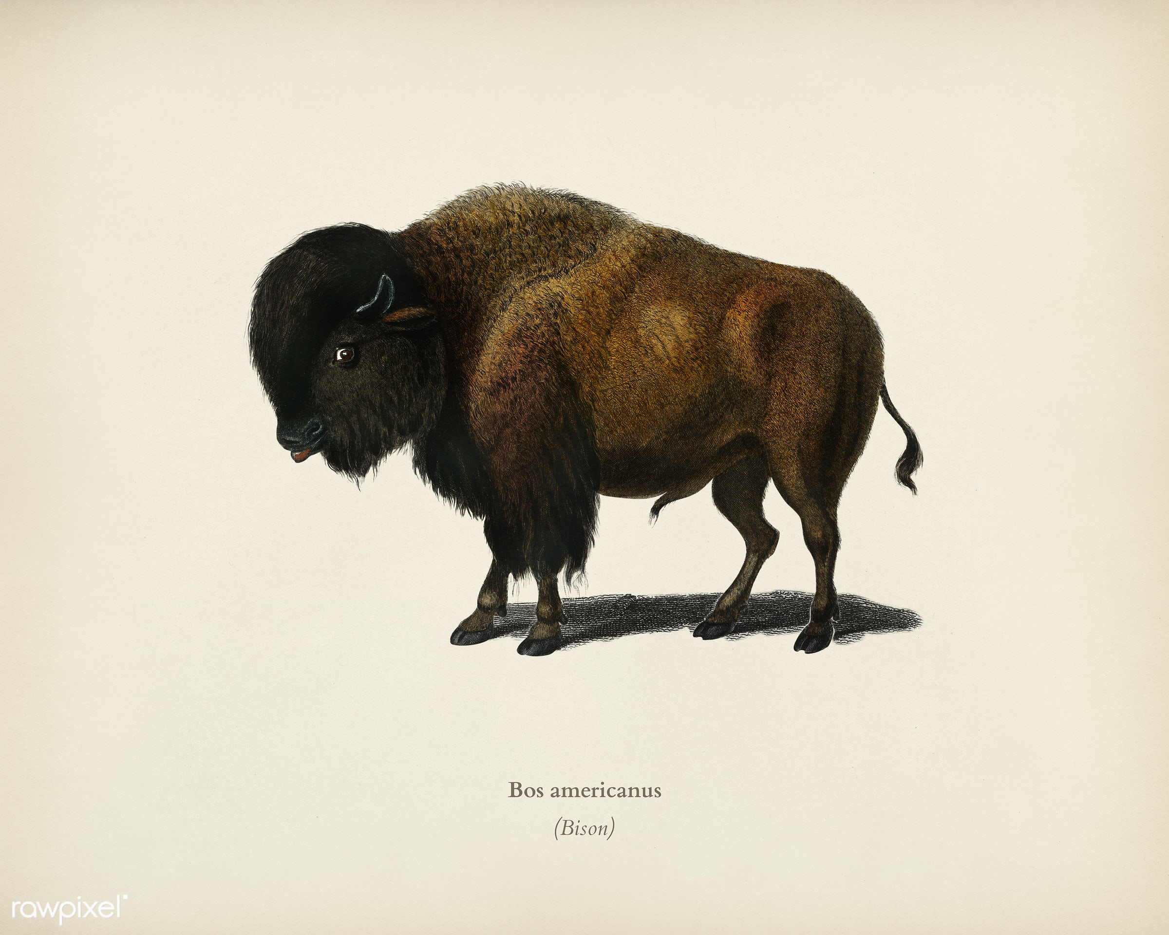 Bison (Bos americanus) illustrated by Charles Dessalines D' Orbigny (1806-1876). Digitally enhanced from our own 1892...
