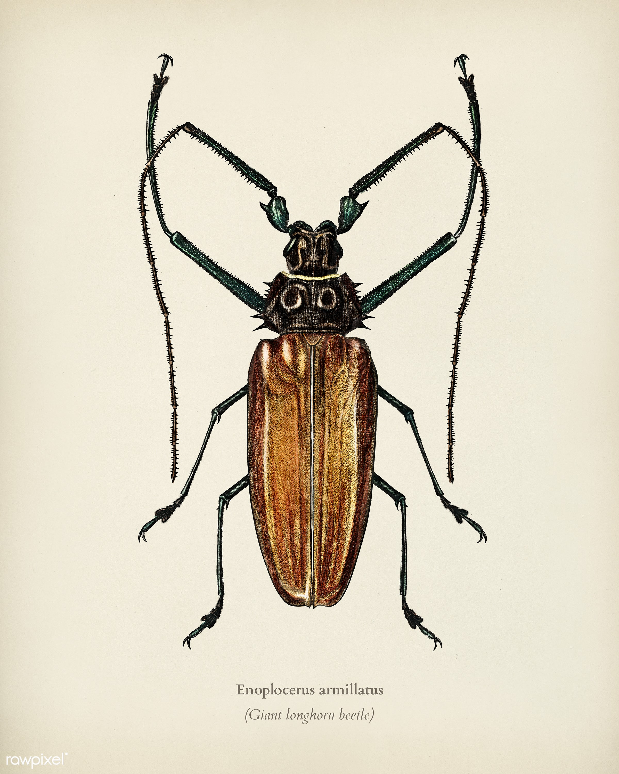 Enoplocerus Armillatus illustrated by Charles Dessalines D' Orbigny (1806-1876). Digitally enhanced from our own 1892...