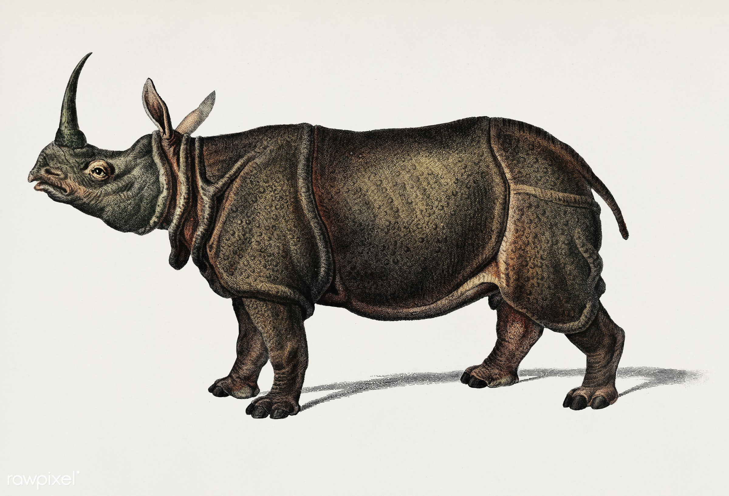 Indian rhinoceros (Rhinoceros unicornis) illustrated by Charles Dessalines D' Orbigny (1806-1876). Digitally enhanced...