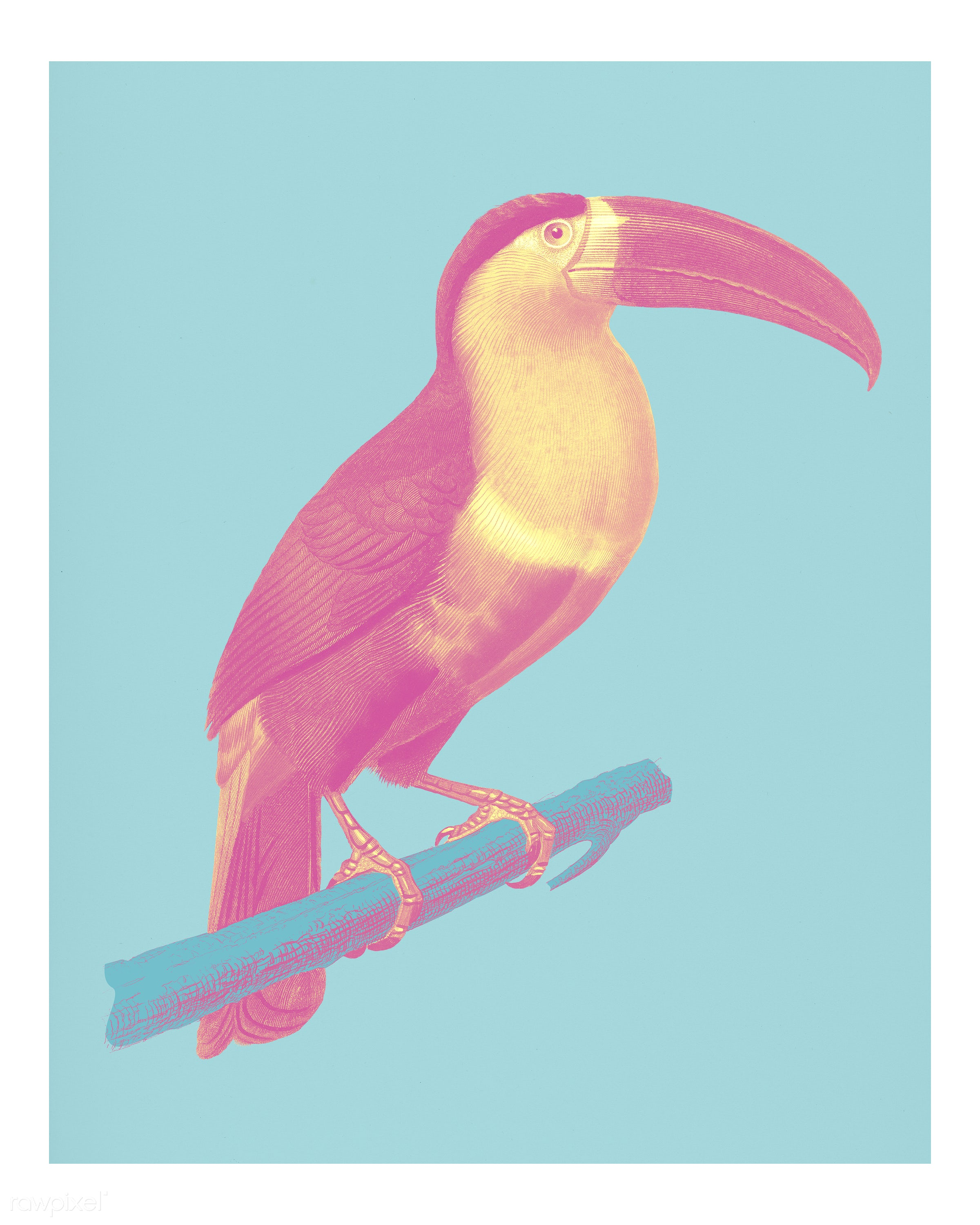Toucan (Ramphastos) illustrated by Charles Dessalines D' Orbigny (1806-1876). Digitally enhanced from our own 1892...
