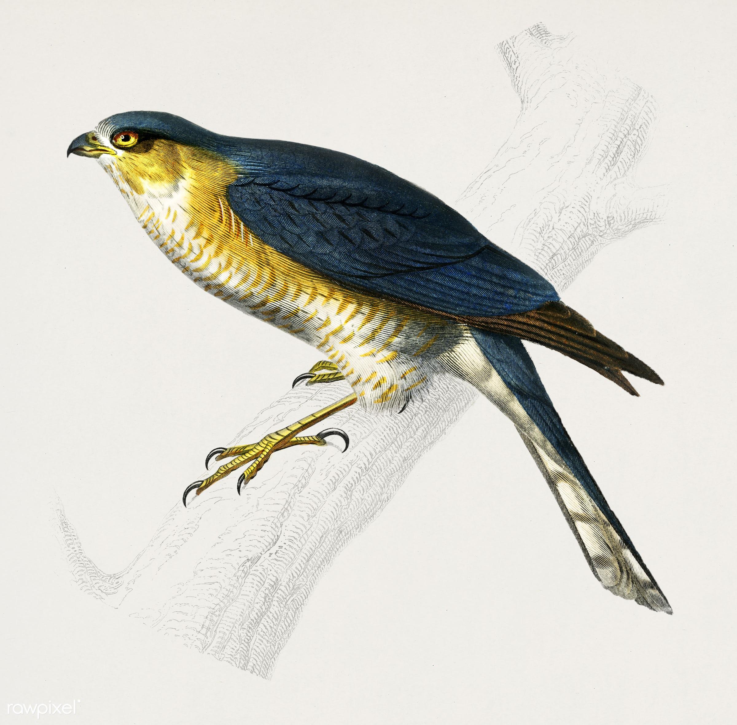 Eurasian sparrowhawk (Accipiter nisus) illustrated by Charles Dessalines D' Orbigny (1806-1876). Digitally enhanced from...