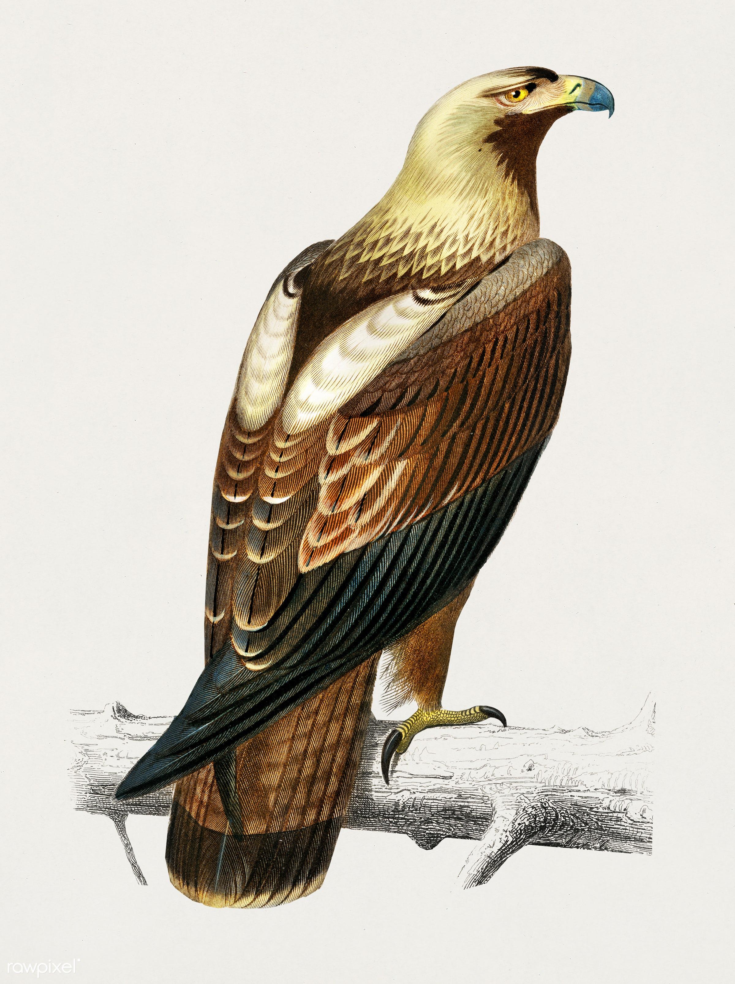 Eastern imperial eagle (Aquila heliaca) illustrated by Charles Dessalines D' Orbigny (1806-1876). Digitally enhanced...