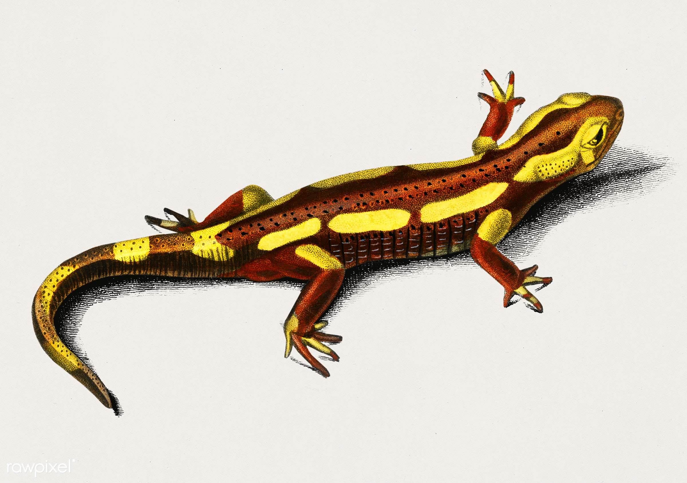 Fire Salamander (Salamandra Salamandra) illustrated by Charles Dessalines D' Orbigny (1806-1876). Digitally enhanced...