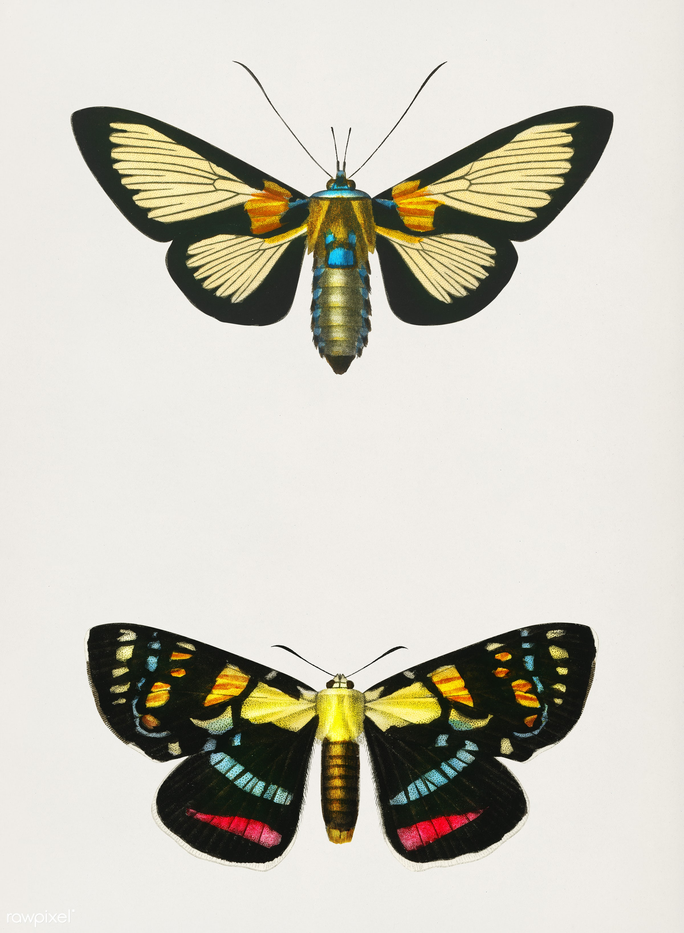 Collection of moths illustrated by Charles Dessalines D' Orbigny (1806-1876). Digitally enhanced from our own 1892...