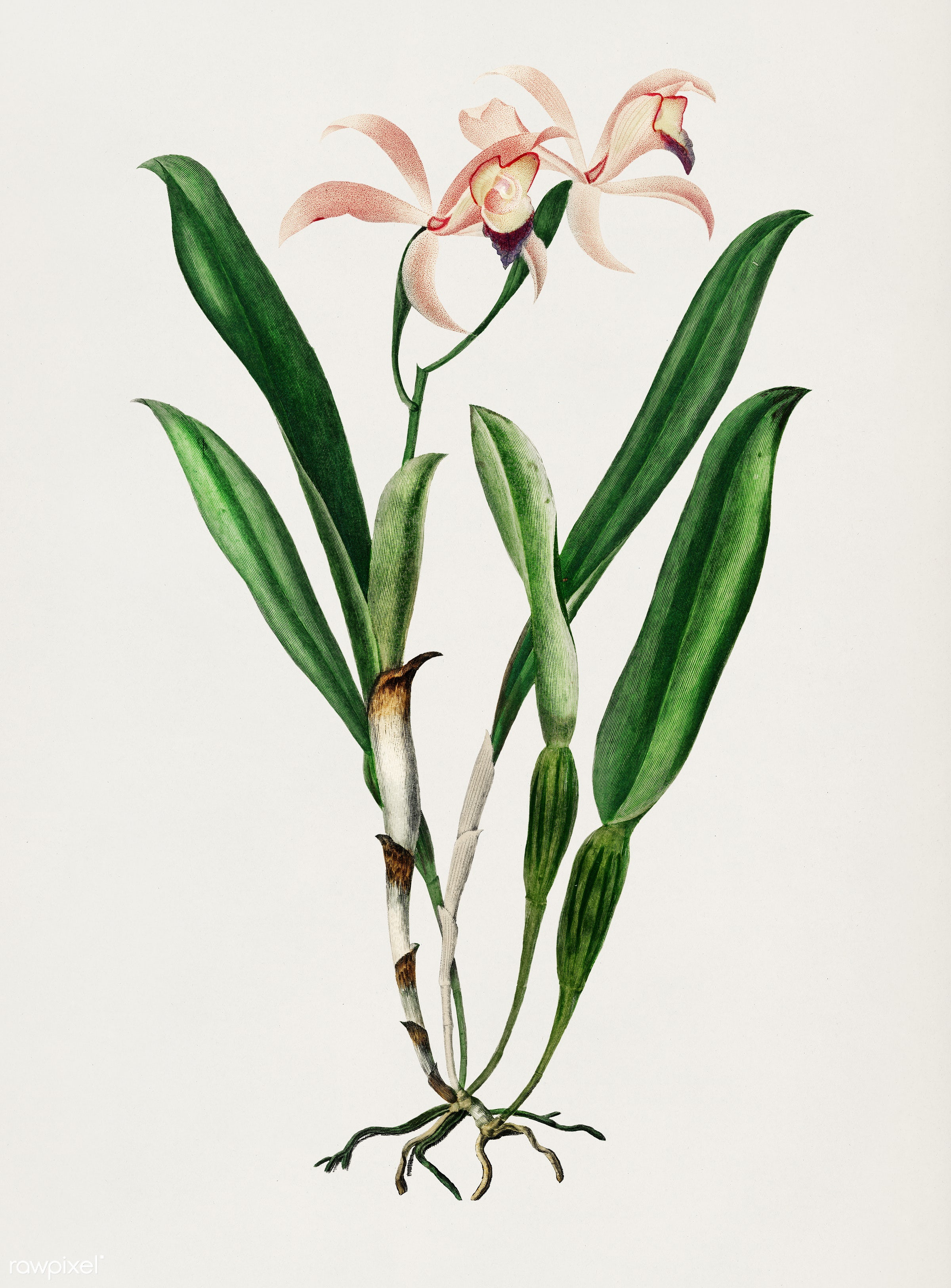Lelia cattleioides illustrated by Charles Dessalines D' Orbigny (1806-1876). Digitally enhanced from our own 1892...