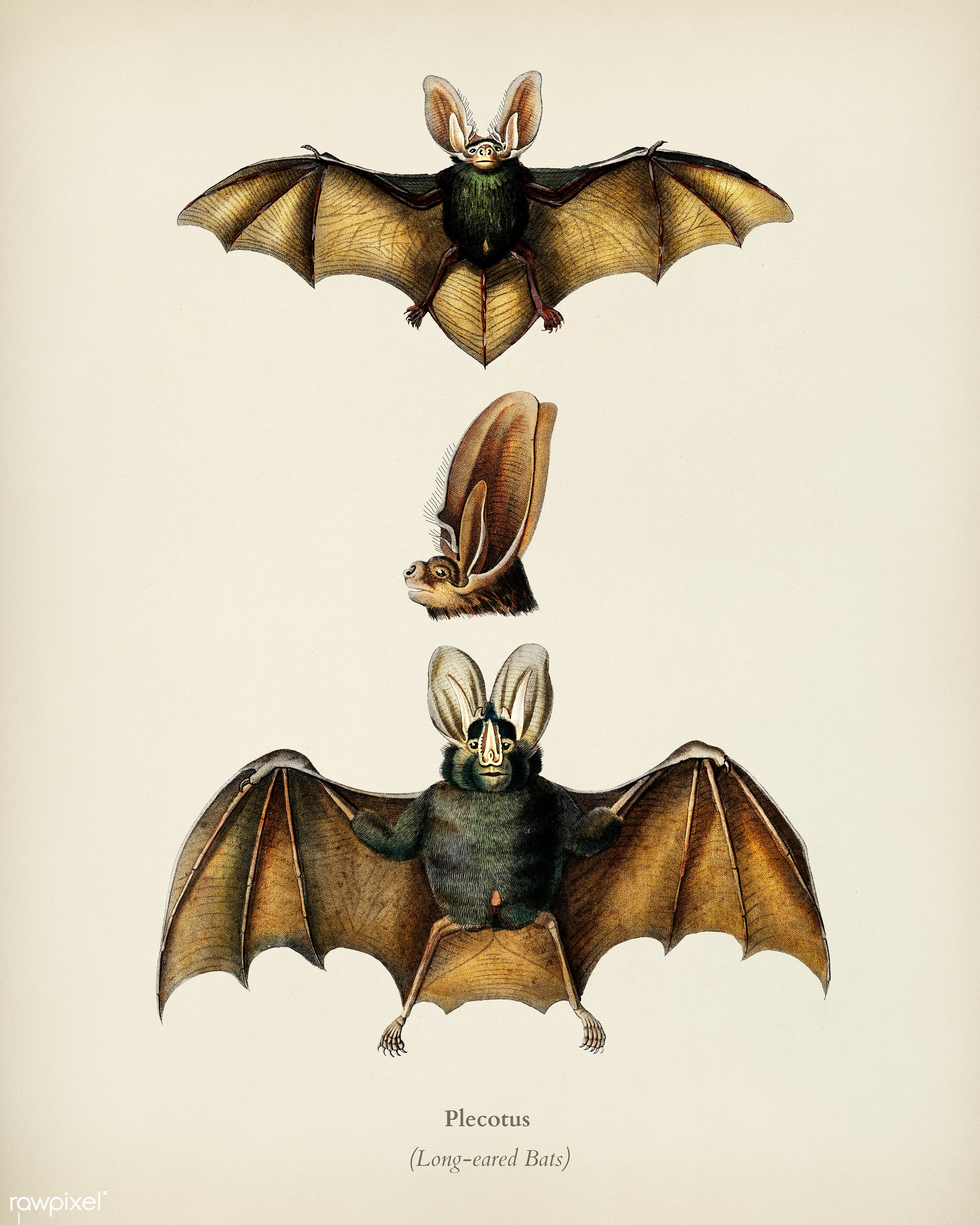 Plecotus illustrated by Charles Dessalines D' Orbigny (1806-1876). Digitally enhanced from our own 1892 edition of...