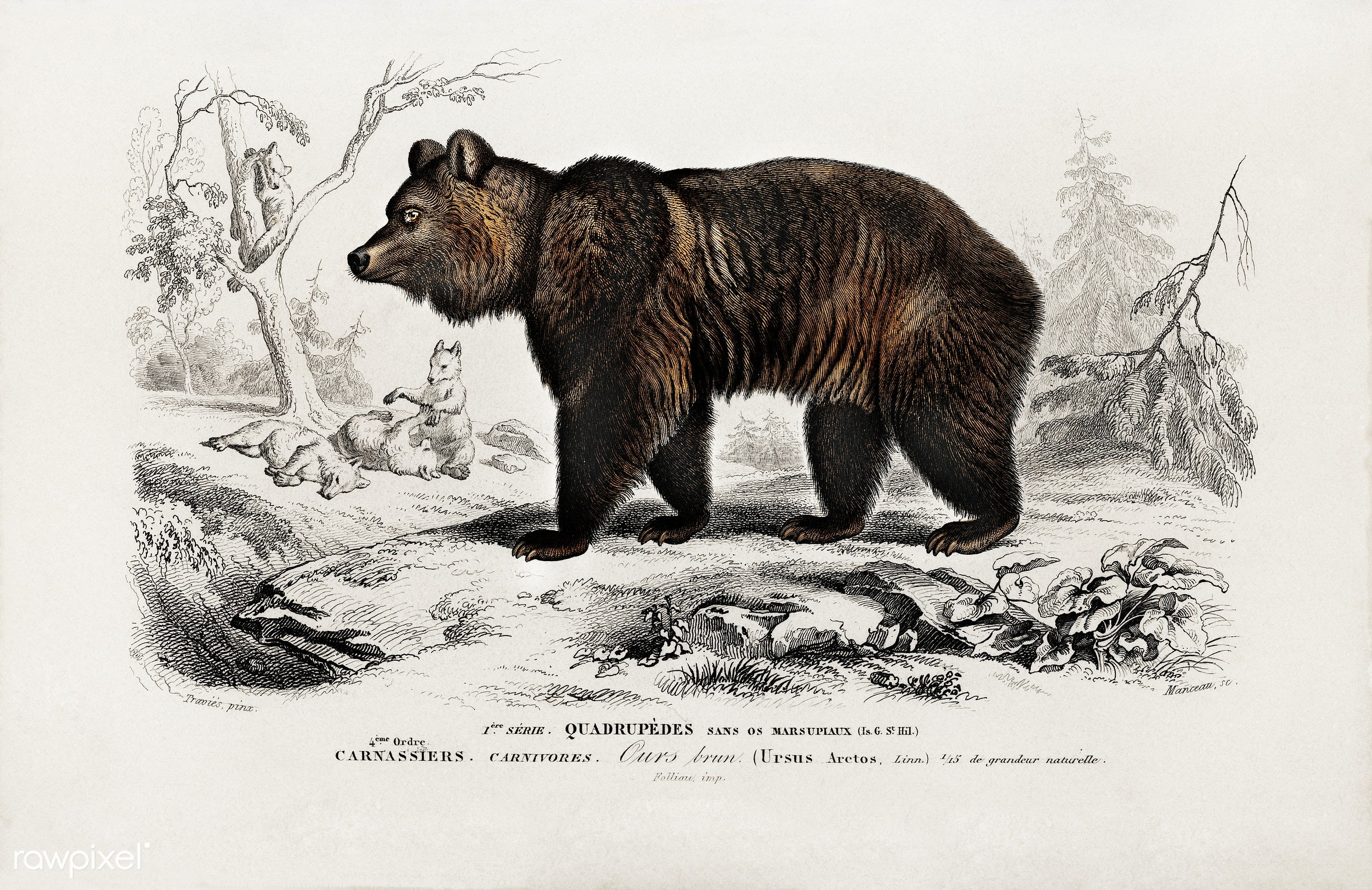 Brown Bear (Ursus Arctos) illustrated by Charles Dessalines D' Orbigny (1806-1876). Digitally enhanced from our own 1892...