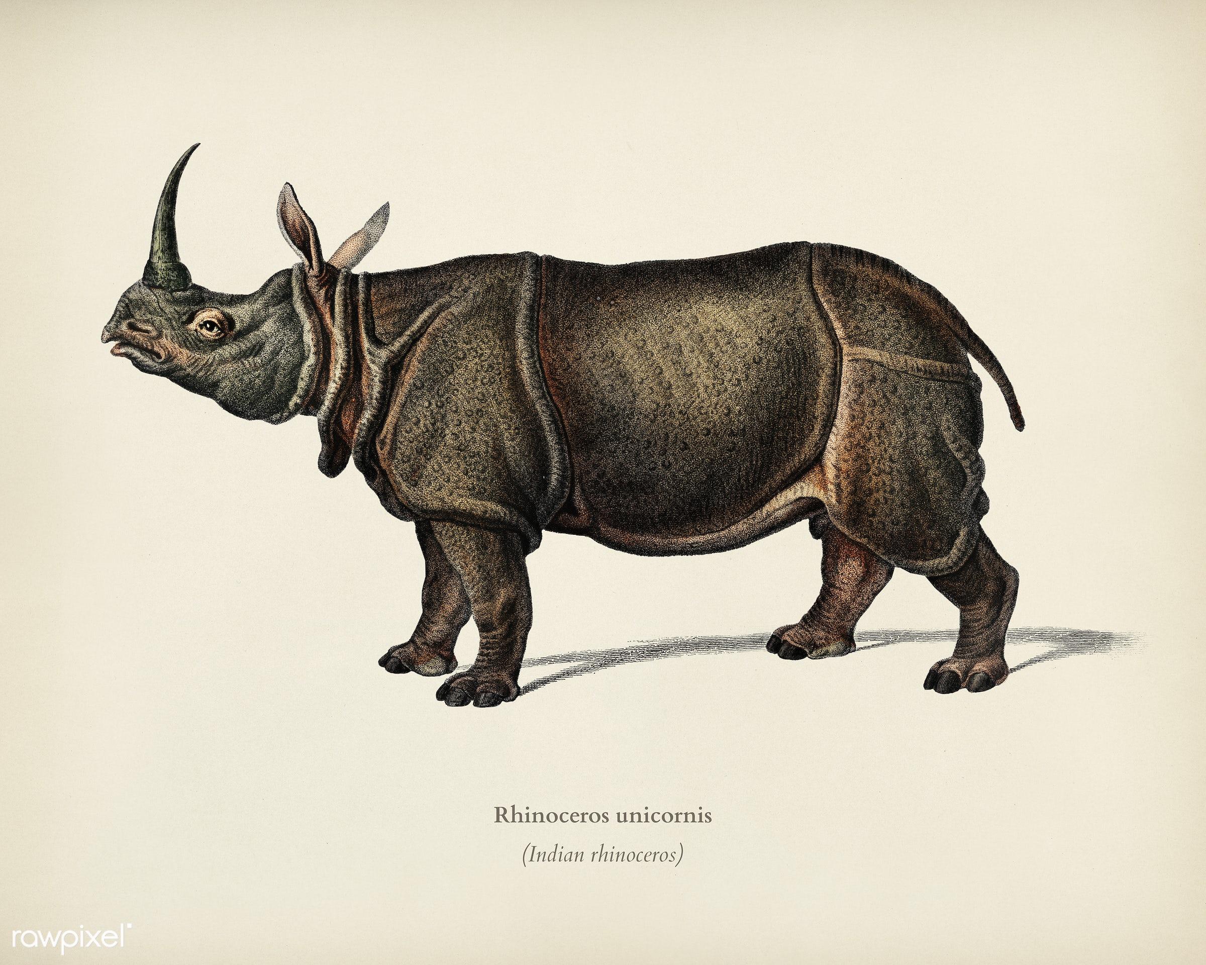 Indian rhinoceros (Rhinoceros unicornis) illustrated by Charles Dessalines D' Orbigny (1806-1876). Digitally enhanced...