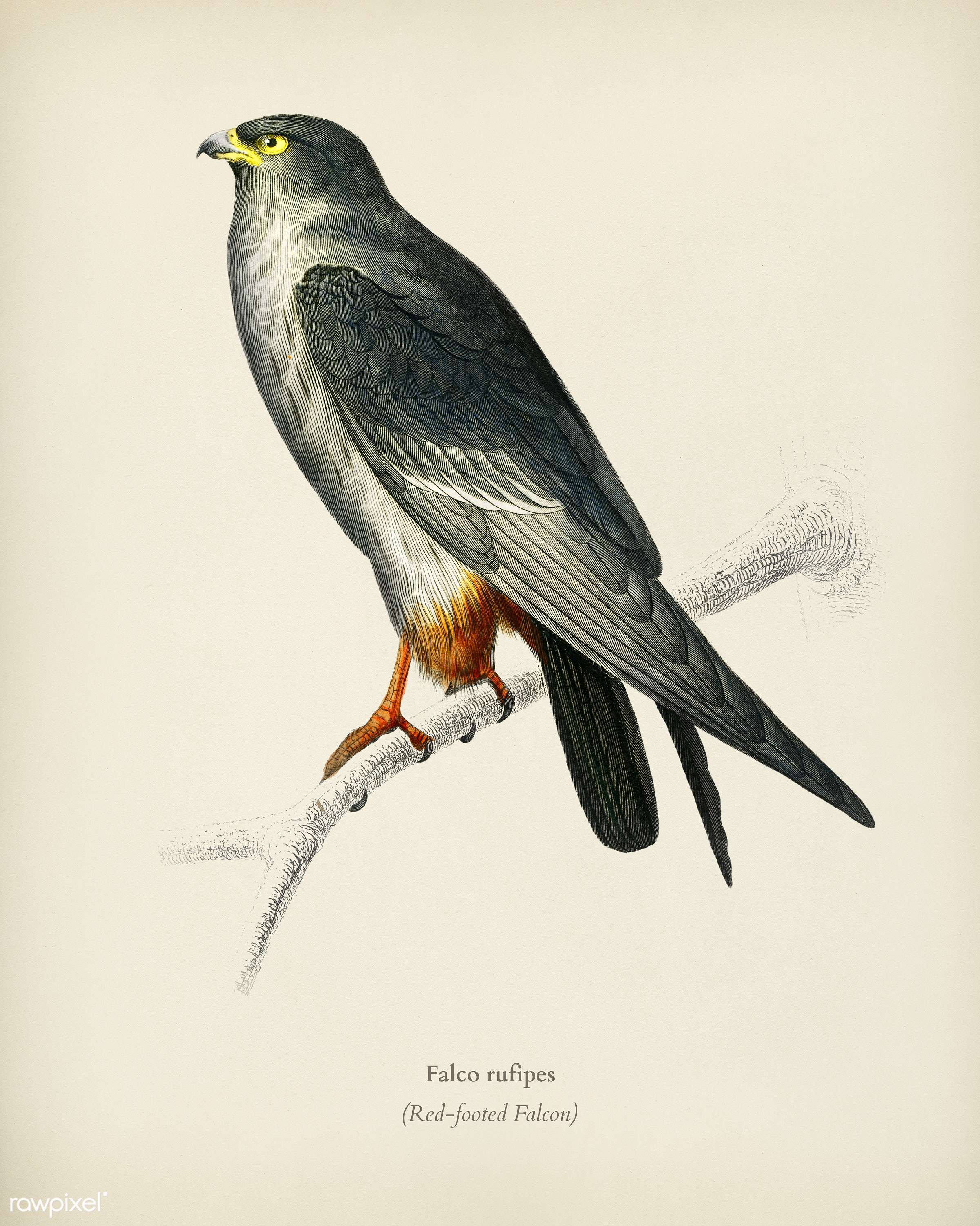 Red-footed Falcon (Falco rufipes) illustrated by Charles Dessalines D' Orbigny (1806-1876). Digitally enhanced from our...
