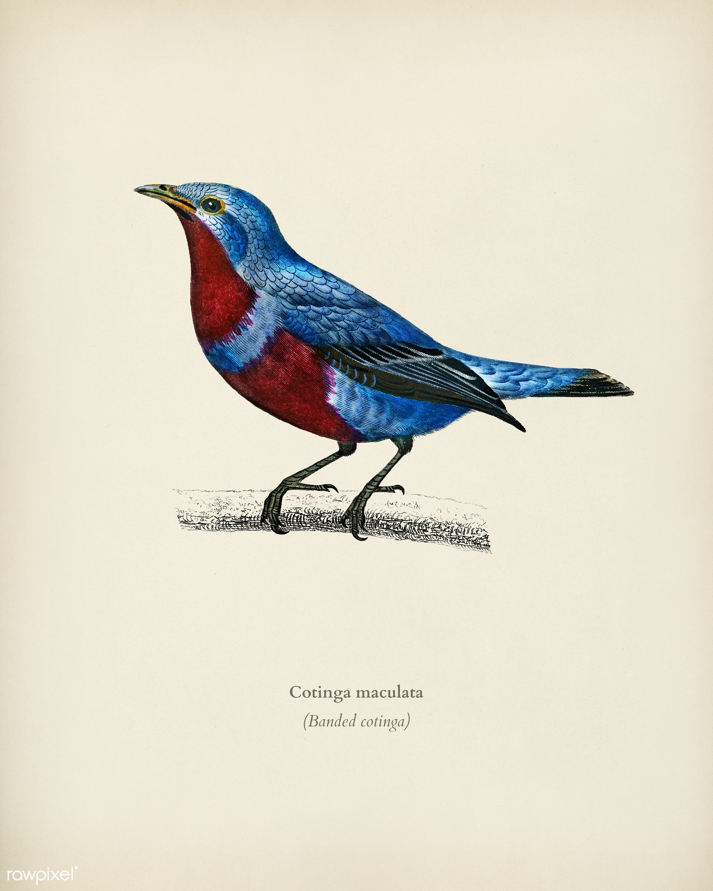 Banded cotinga (Cotinga maculata) illustrated by Charles Dessalines D' Orbigny (1806-1876). Digitally enhanced from our...