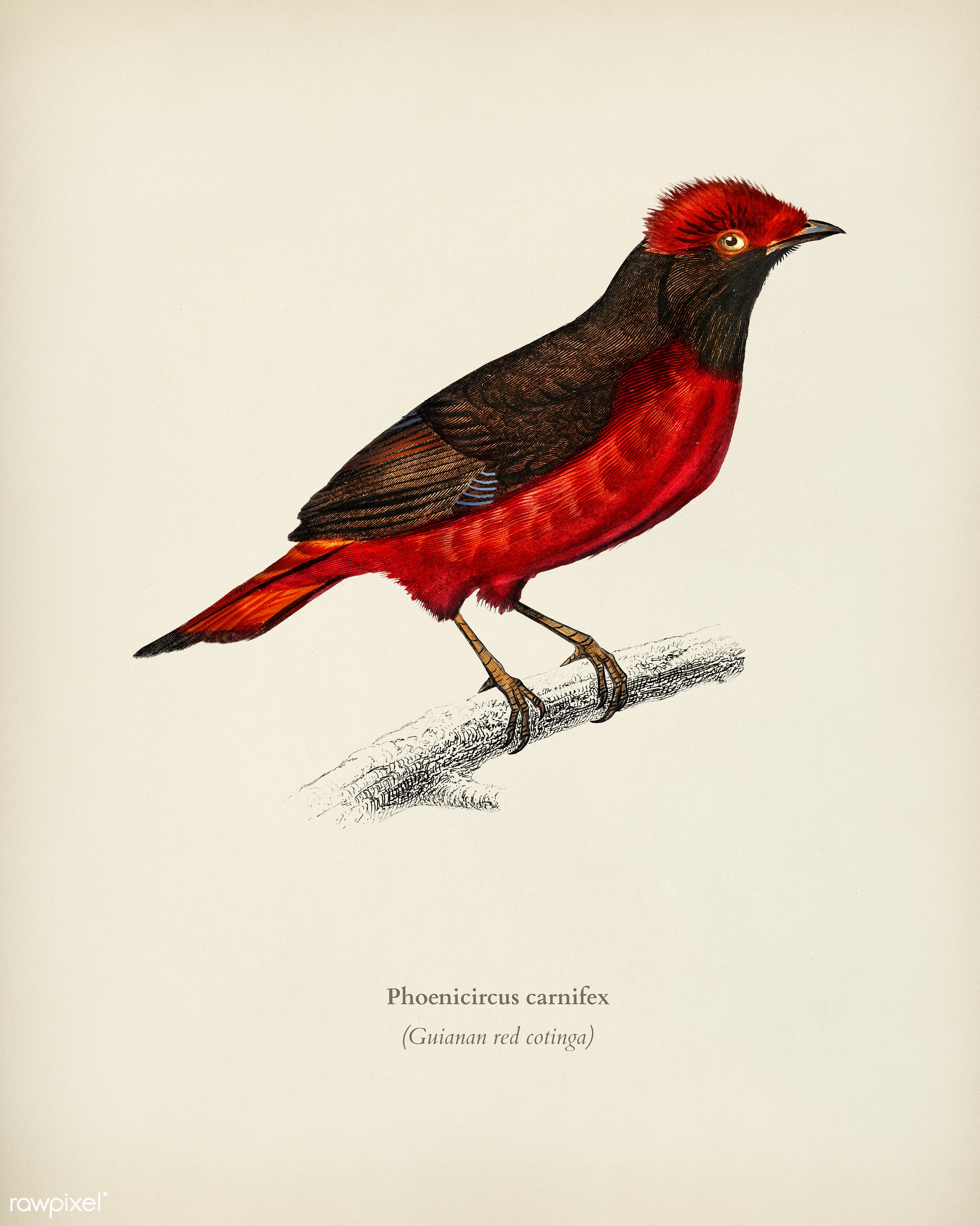 Guianan red cotinga (Phoenicircus carnifex) illustrated by Charles Dessalines D' Orbigny (1806-1876). Digitally enhanced...