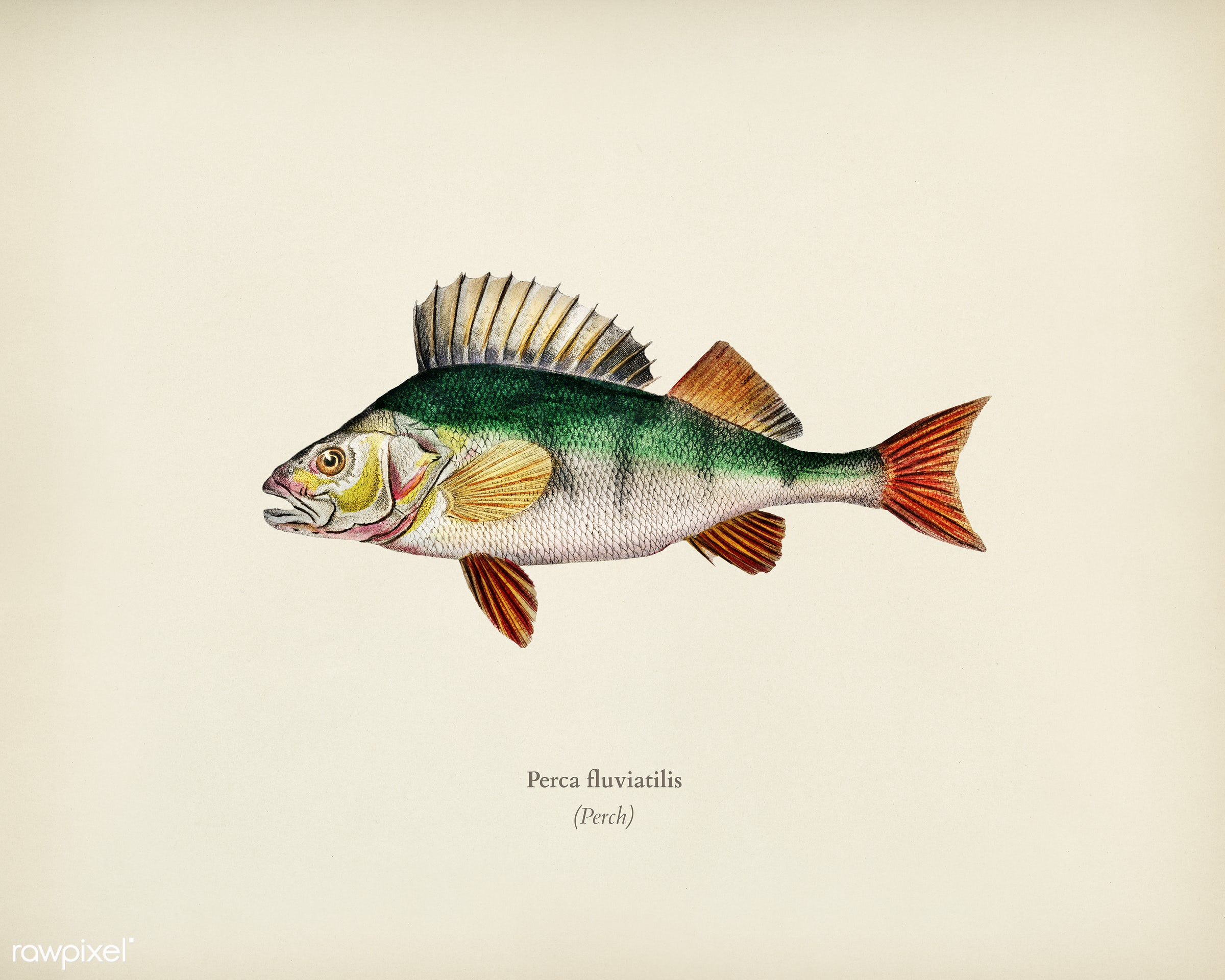 Perca fluviatilis illustrated by Charles Dessalines D' Orbigny (1806-1876). Digitally enhanced from our own 1892 edition...