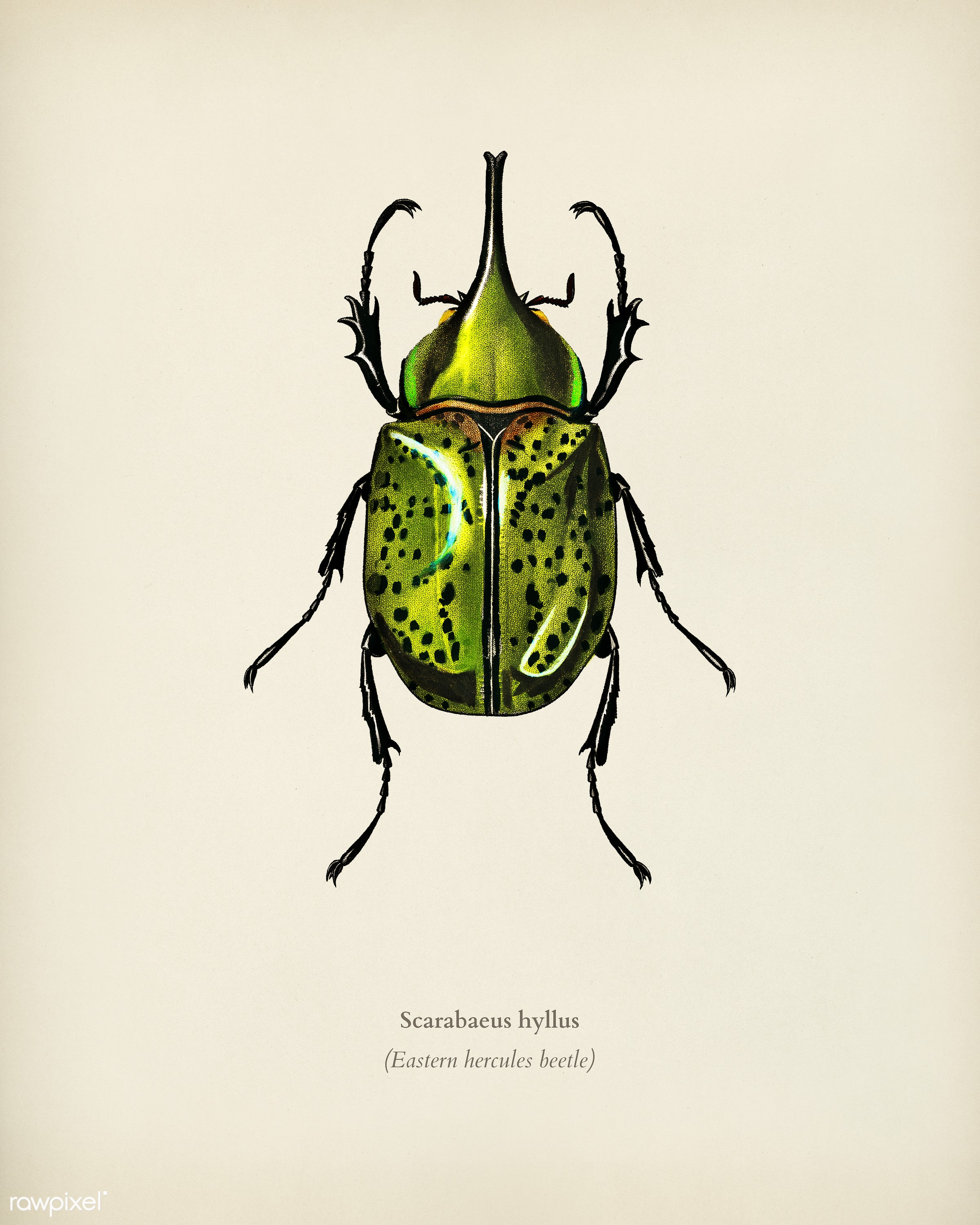Eastern Hecules Beetle (Scarabaeus Hyllus) illustrated by Charles Dessalines D' Orbigny (1806-1876). Digitally enhanced...