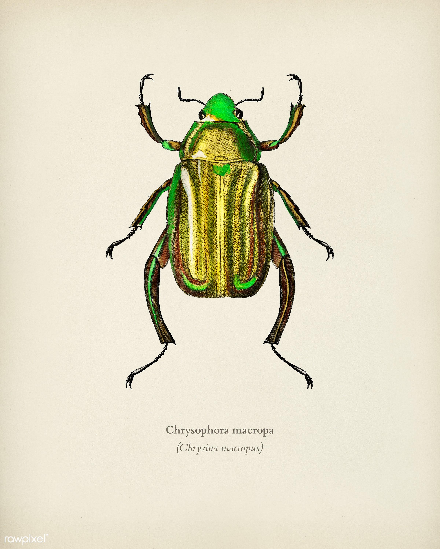 Chrysina Macropus (Chrysophora Macropa) illustrated by Charles Dessalines D' Orbigny (1806-1876). Digitally enhanced...