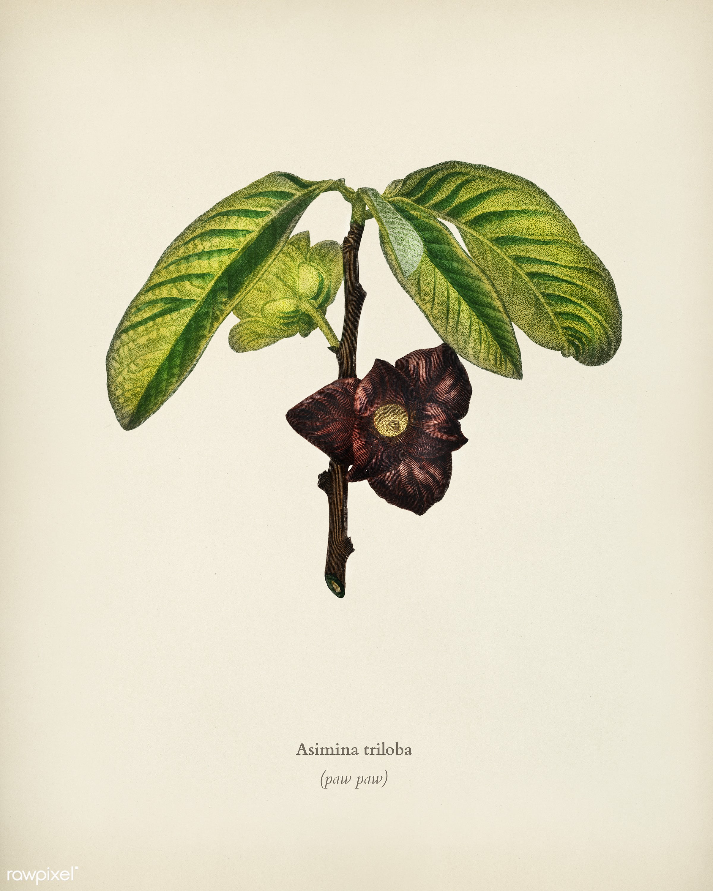 Asimina triloba illustrated by Charles Dessalines D' Orbigny (1806-1876). Digitally enhanced from our own 1892 edition...