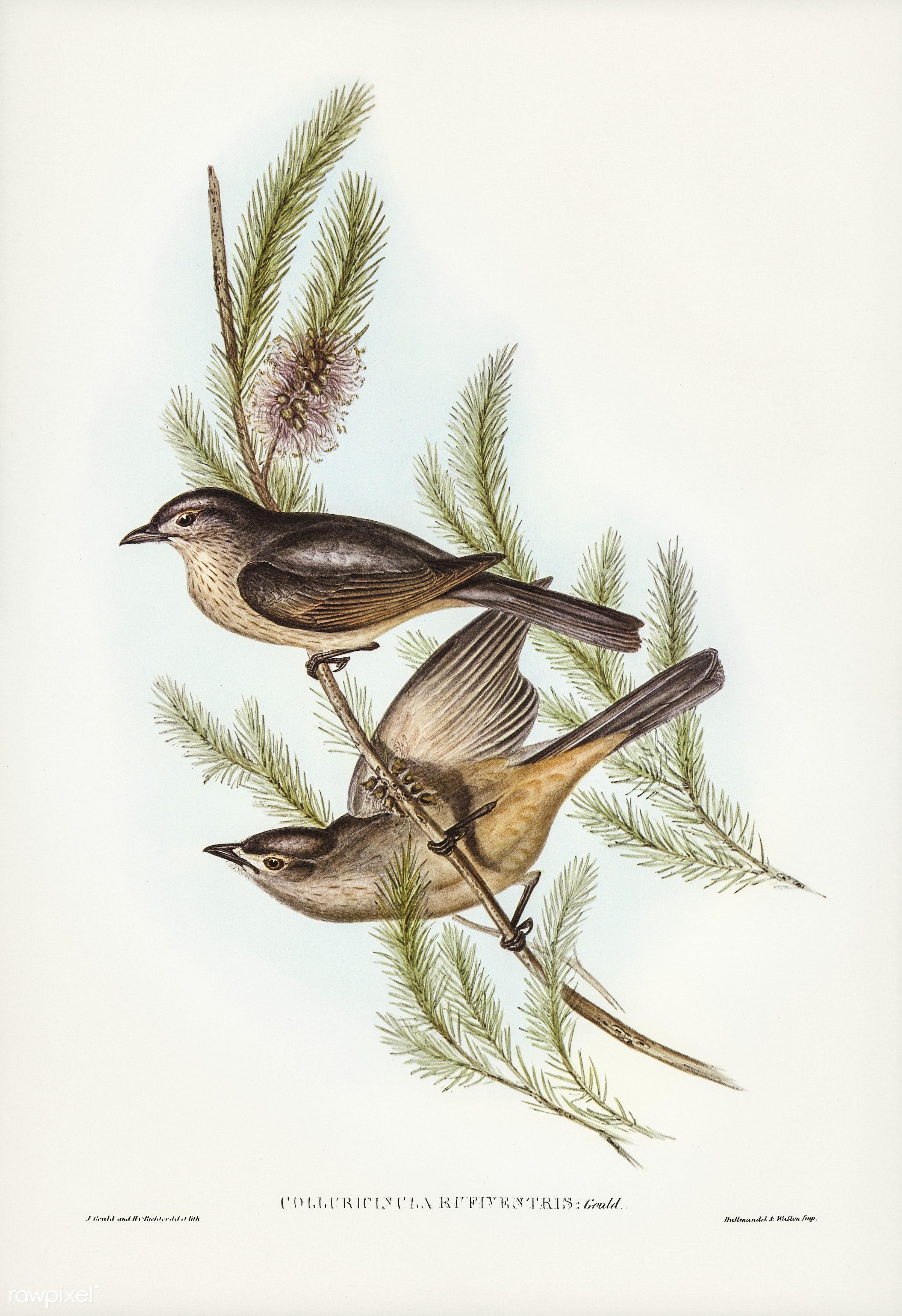 Buff-bellied shrike-thrush (Colluricincla rufiventris) illustrated by Elizabeth Gould (1804–1841) for John Gould...