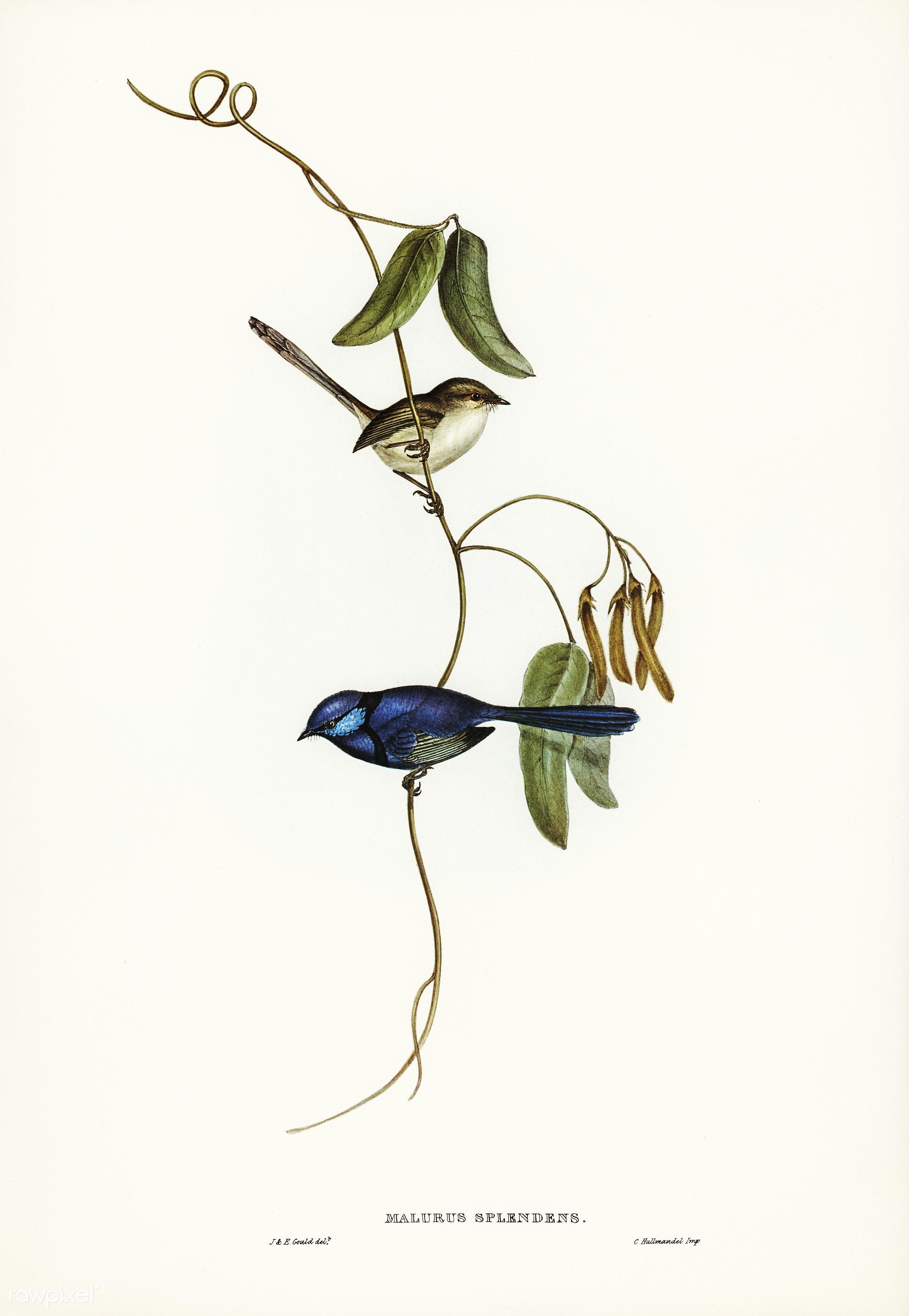 Banded Wren (Alurus splendens) illustrated by Elizabeth Gould (1804–1841) for John Gould's (1804-1881) Birds of...