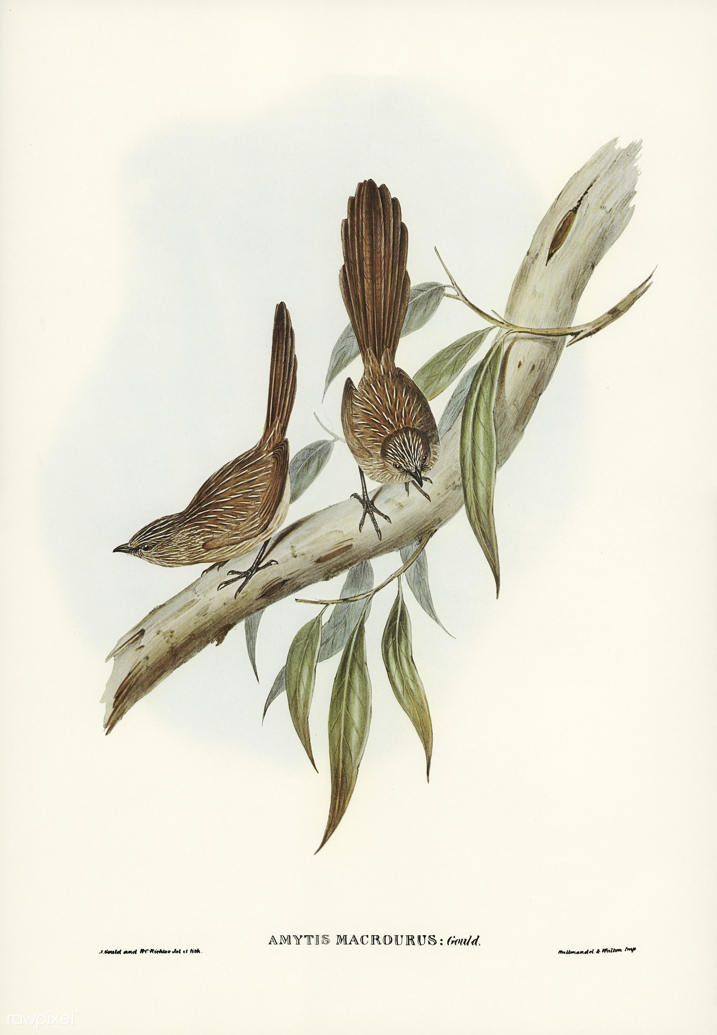 Large-tailed Wren (Amytis macrourus) illustrated by Elizabeth Gould (1804–1841) for John Gould's (1804-1881)...