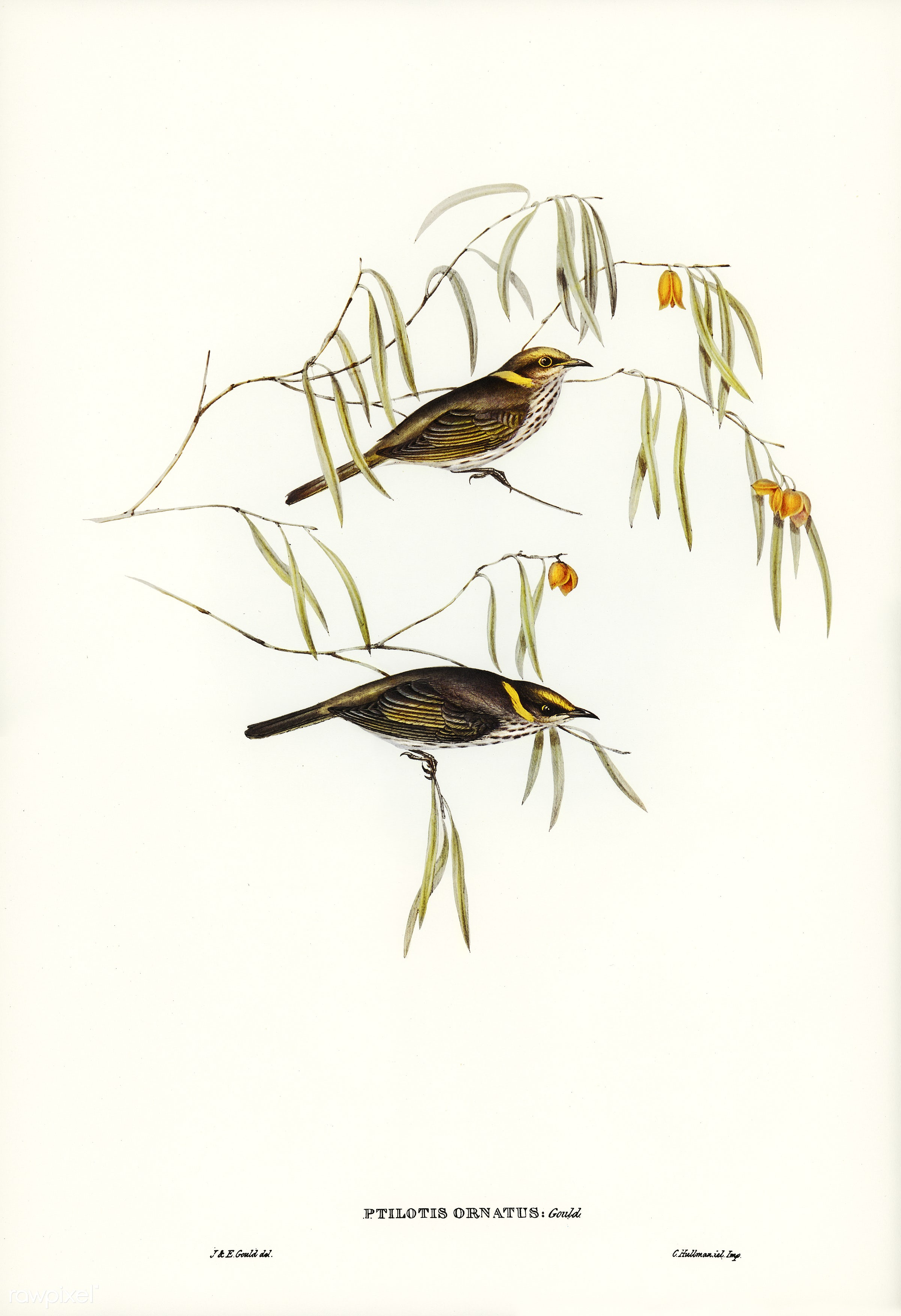 Graceful Honey-eater (Ptilotis ornatus) illustrated by Elizabeth Gould (1804–1841) for John Gould's (1804-1881)...