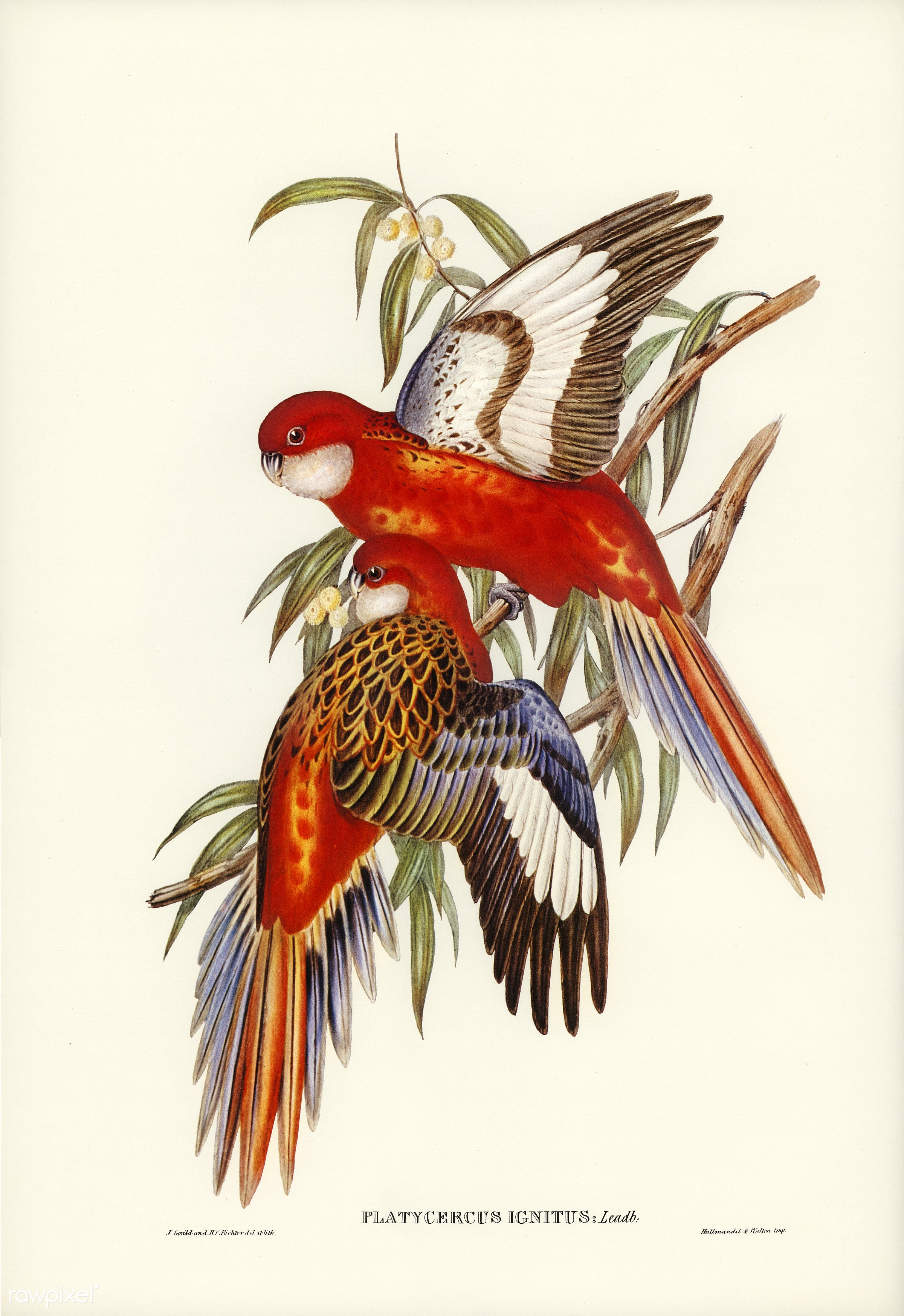 Fiery Parakeet (Platycercus ignitus) illustrated by Elizabeth Gould (1804–1841) for John Gould's (1804-1881)...