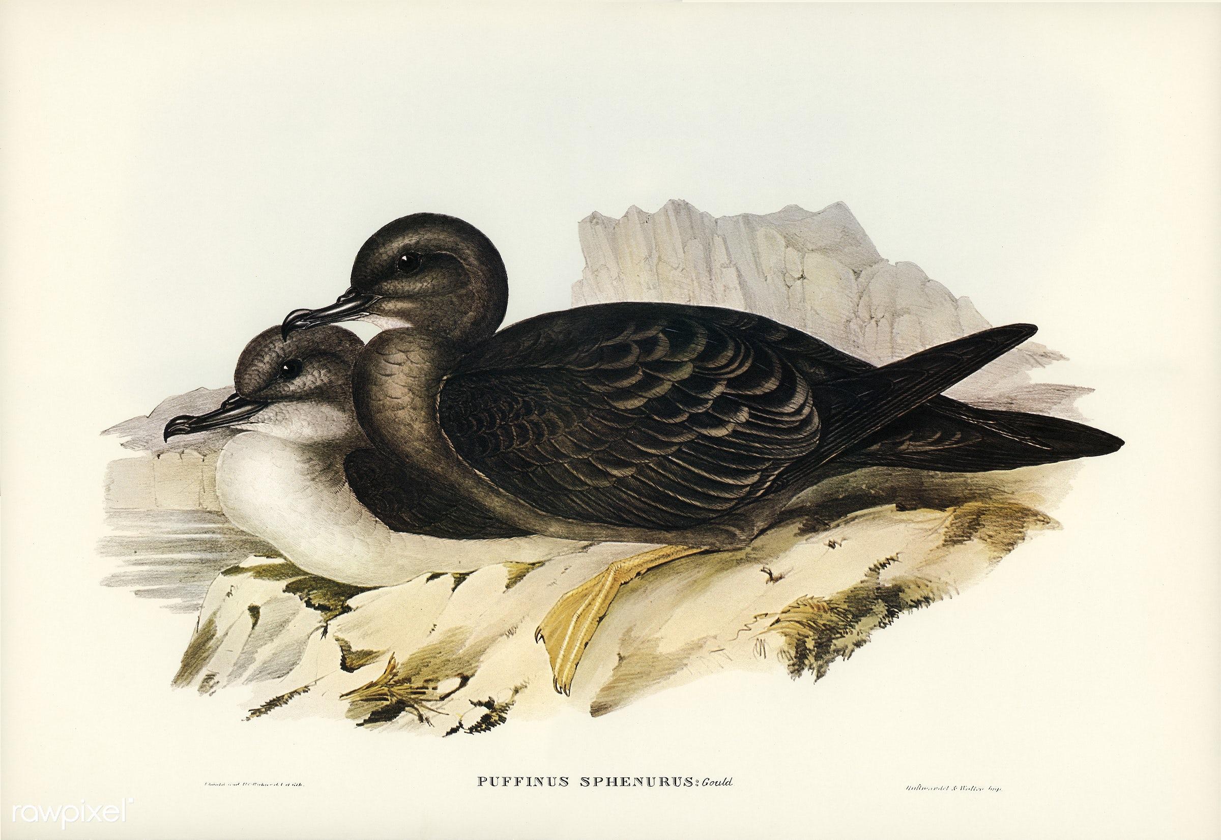 Wedge-tailed Petrel (Puffinus sphenurus) iillustrated by Elizabeth Gould (1804–1841) for John Gould's (1804-1881...