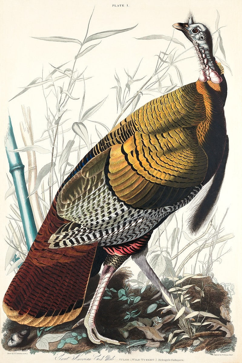 Wild Turkey or Great American Cock from Birds of America (1827) by John James Audubon, etched by William Home Lizars.…