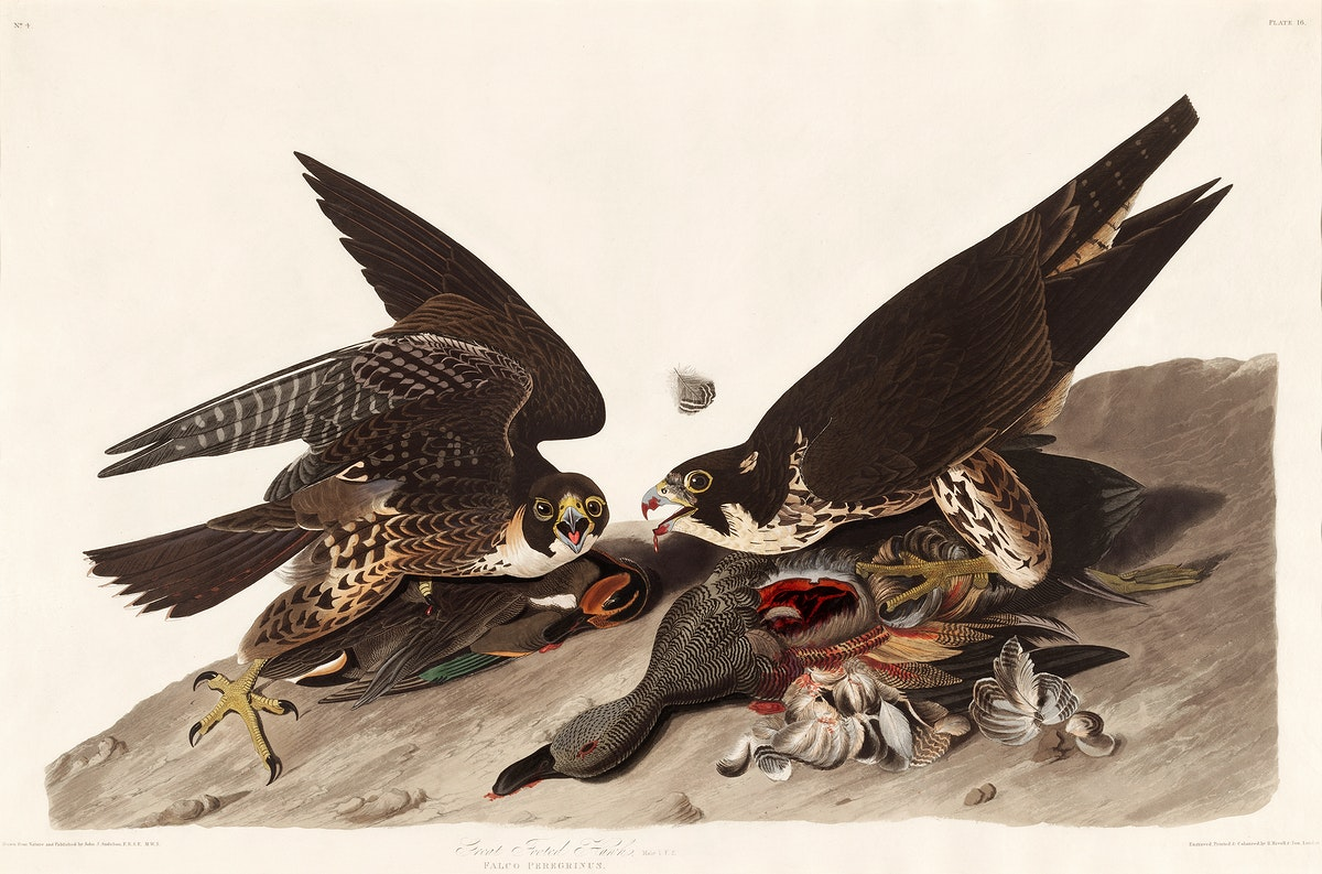 Great Footed Hawk from Birds of America (1827) by John James Audubon, etched by William Home Lizars. Original from University…