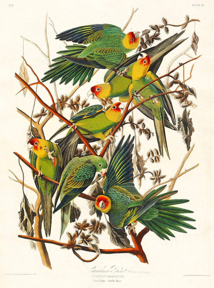 Carolina Parrot from Birds of America (1827) by John James Audubon, etched by William Home Lizars. Original from University…