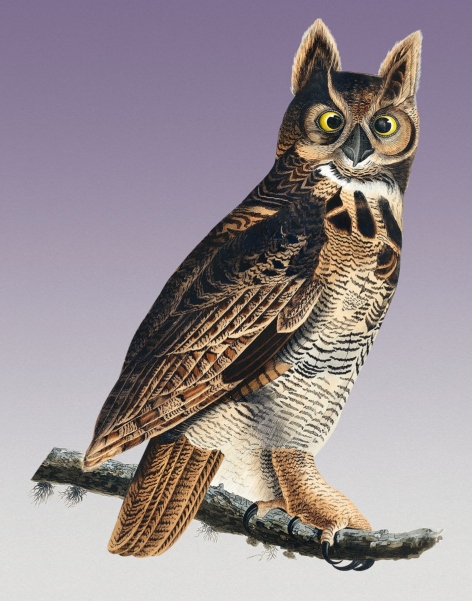 Vintage Illustration of Great Horned Owl from Birds of America.