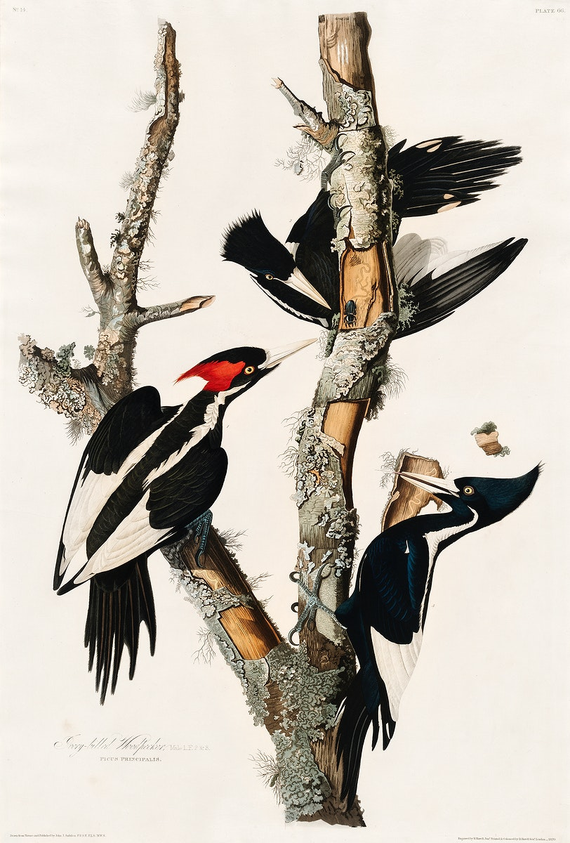 Ivory-billed Woodpecker from Birds of America (1827) by John James Audubon, etched by William Home Lizars. Original from…