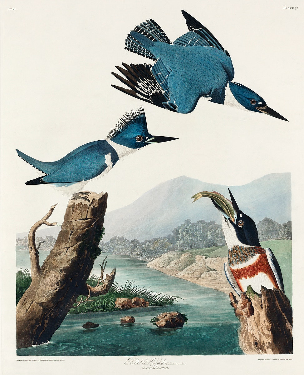 Belted Kingfisher from Birds of America (1827) by John James Audubon, etched by William Home Lizars. Original from University…