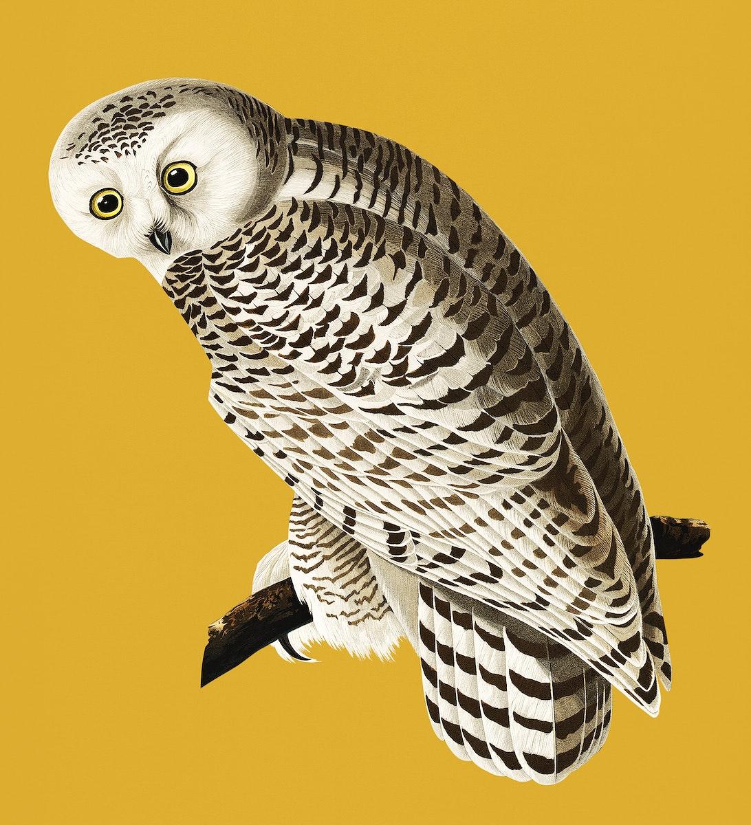 Vintage Illustration of Snowy Owl.