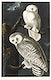 """Snowy Owl from Birds of America (1827) by <a href=""""https://www.rawpixel.com/search/John%20James%20Audubon?sort=curated&amp;type=all&amp;page=1"""">John James Audubon</a>, etched by William Home Lizars. Original from University of Pittsburg. Digitally enhanced by rawpixel."""