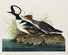 Hooded Merganser from Birds of America (1827) by John James Audubon, etched by William Home Lizars. Original from University of Pittsburg. Digitally enhanced by rawpixel.