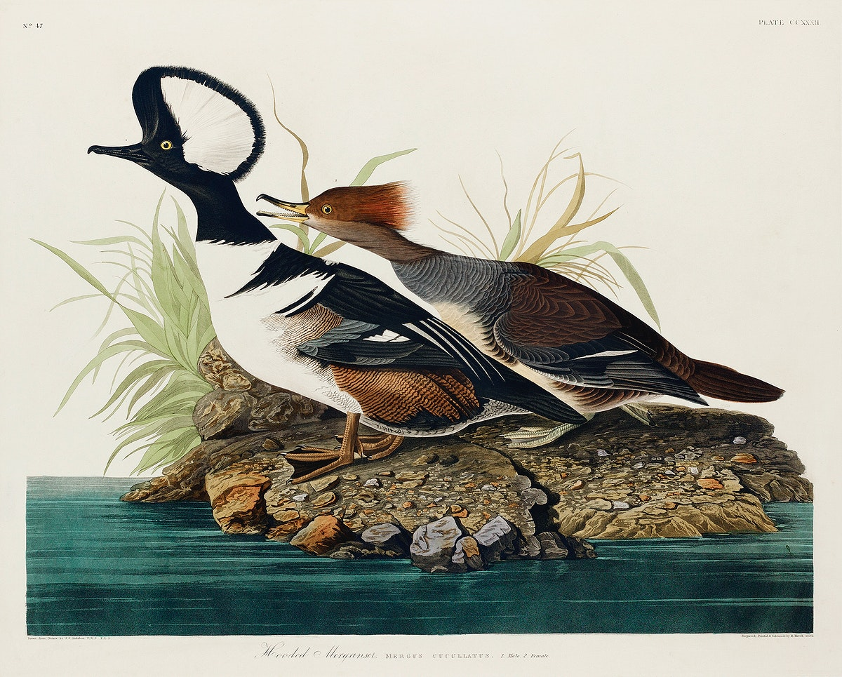 Hooded Merganser from Birds of America (1827) by John James Audubon, etched by William Home Lizars. Original from University…