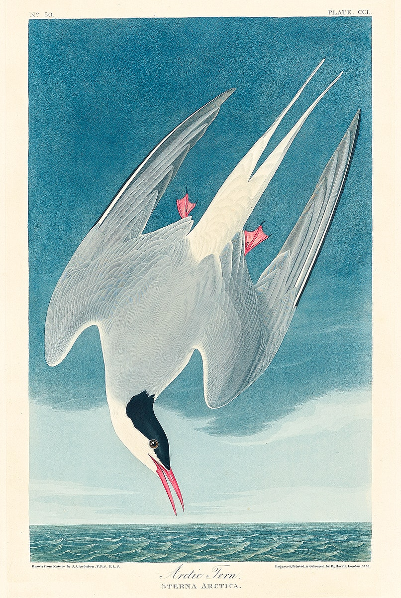 Arctic Tern from Birds of America (1827) by John James Audubon, etched by William Home Lizars. Original from University of…