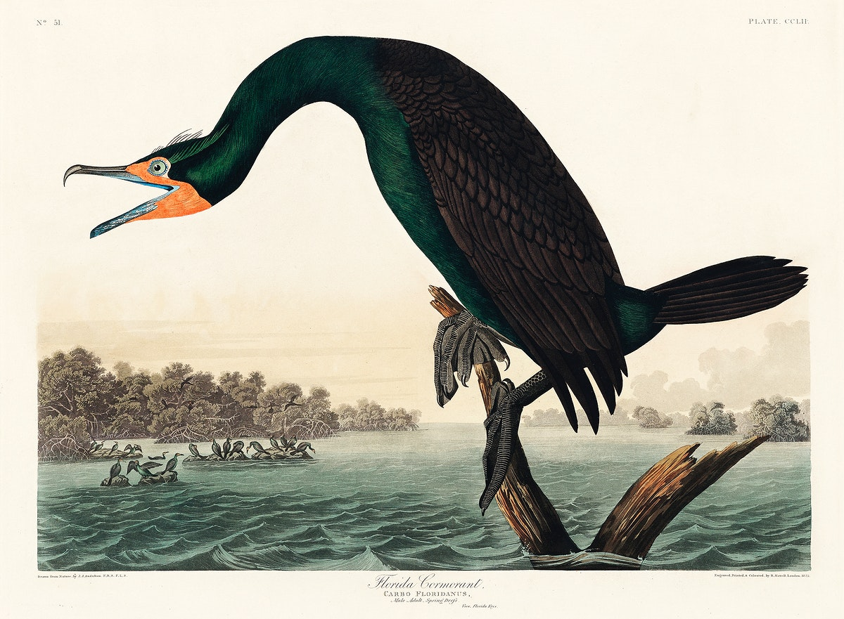 Florida Cormorant from Birds of America (1827) by John James Audubon, etched by William Home Lizars. Original from University…