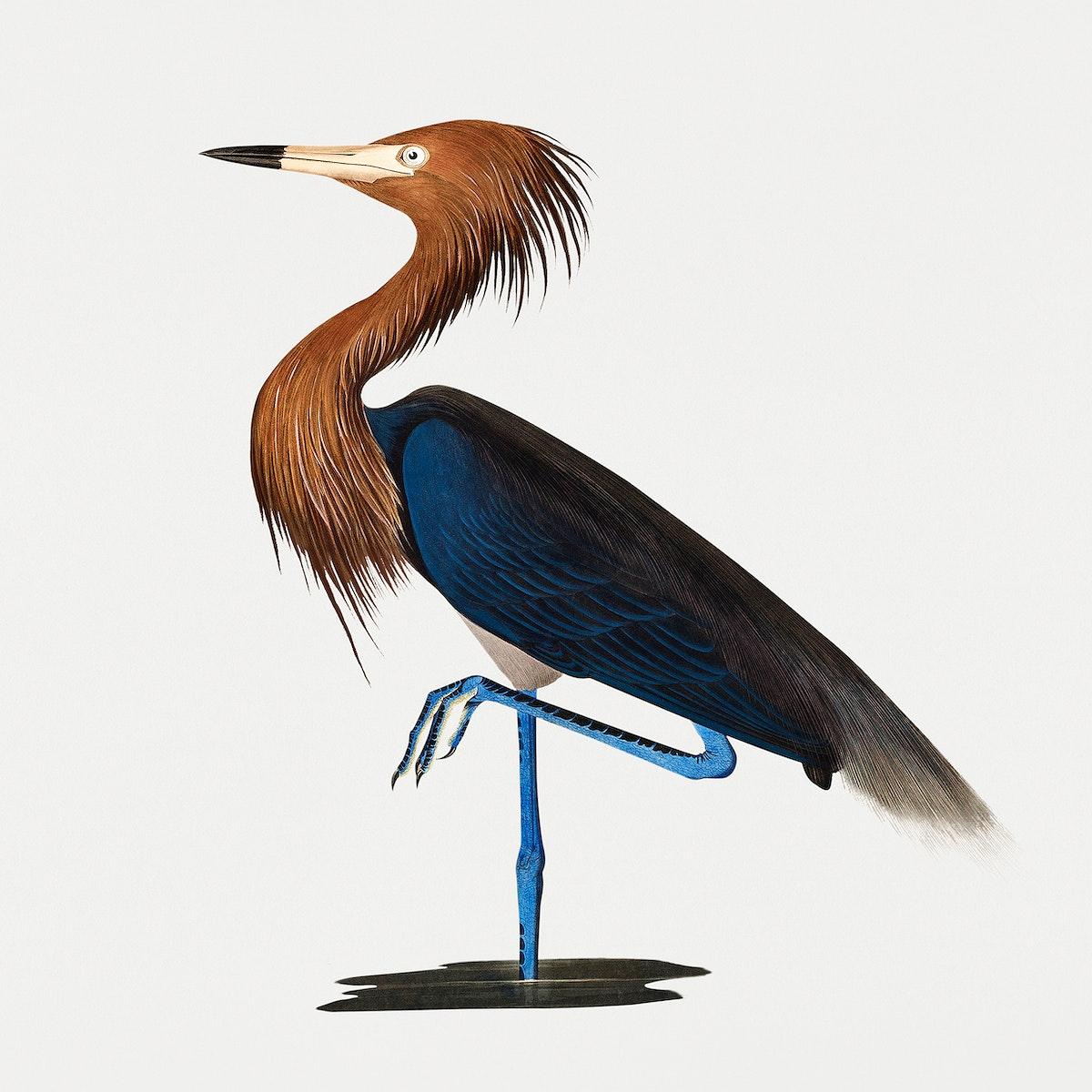 Vintage Illustration of Purple Heron