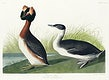 Horned Grebe from Birds of America (1827) by John James Audubon, etched by William Home Lizars. Original from University of Pittsburg. Digitally enhanced by rawpixel.