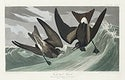 Fork-tailed Petrel from Birds of America (1827) by John James Audubon, etched by William Home Lizars. Original from University of Pittsburg. Digitally enhanced by rawpixel.