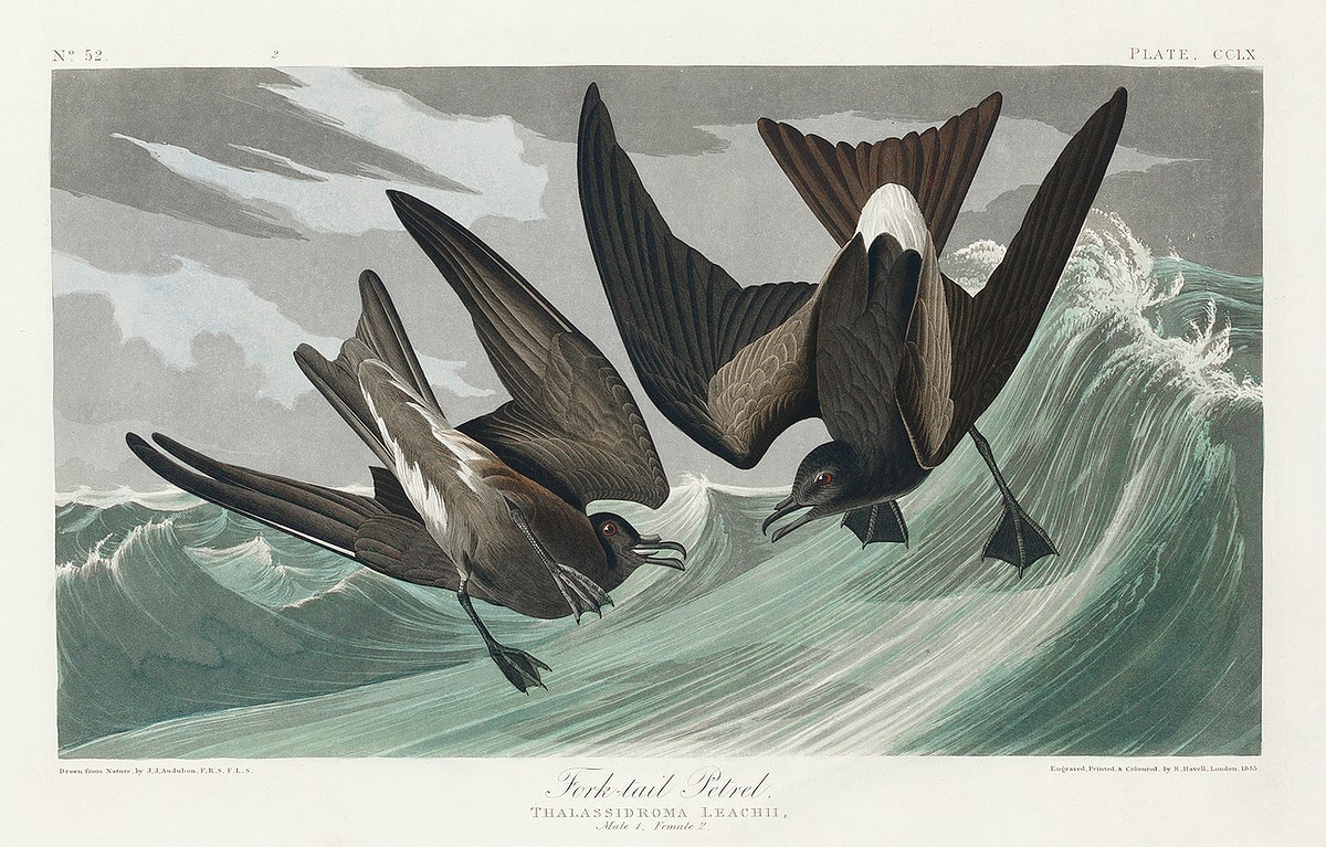 Fork-tailed Petrel from Birds of America (1827) by John James Audubon, etched by William Home Lizars. Original from…