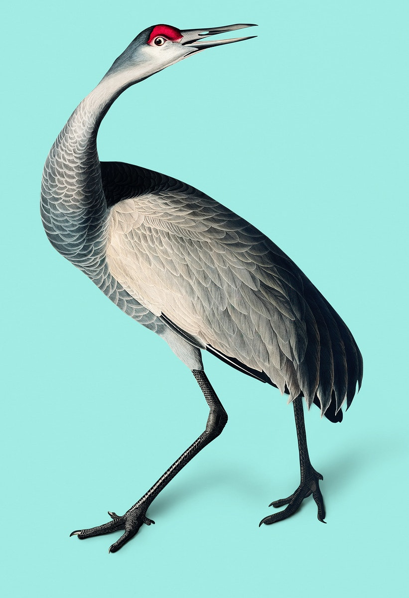 Vintage Illustration of Hooping Crane