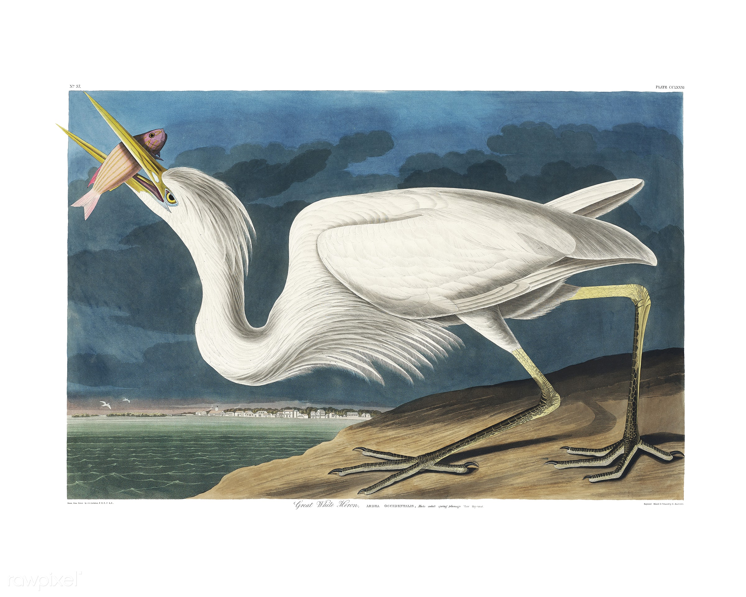 Great White Heron from Birds of America (1827) illustrated by John James Audubon (1785 - 1851), etched by Robert Havell (...