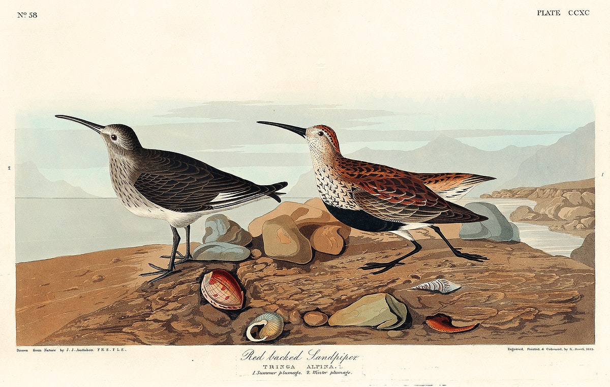 Red backed Sandpiper from Birds of America (1827) by John James Audubon, etched by William Home Lizars. Original from…