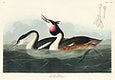 Crested Grebe from Birds of America (1827) by John James Audubon, etched by William Home Lizars. Original from University of Pittsburg. Digitally enhanced by rawpixel.