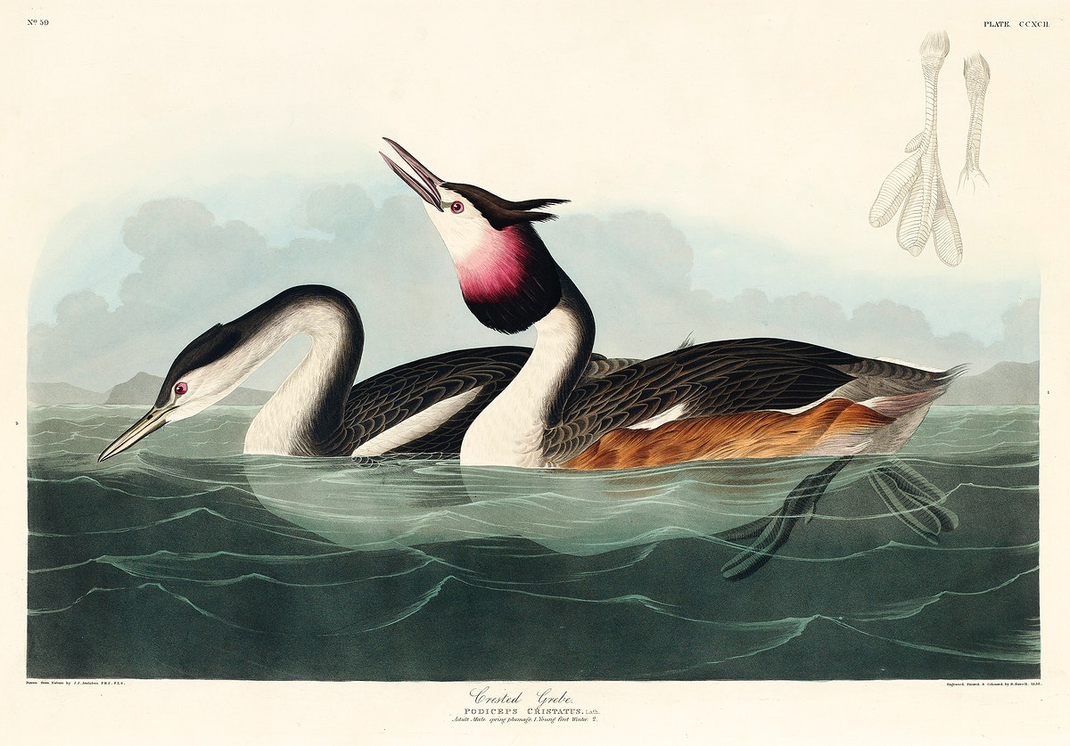 Crested Grebe from Birds of America (1827) by John James Audubon, etched by William Home Lizars. Original from University of…