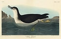 Manks Shearwater from Birds of America (1827) by John James Audubon, etched by William Home Lizars. Original from University of Pittsburg. Digitally enhanced by rawpixel.