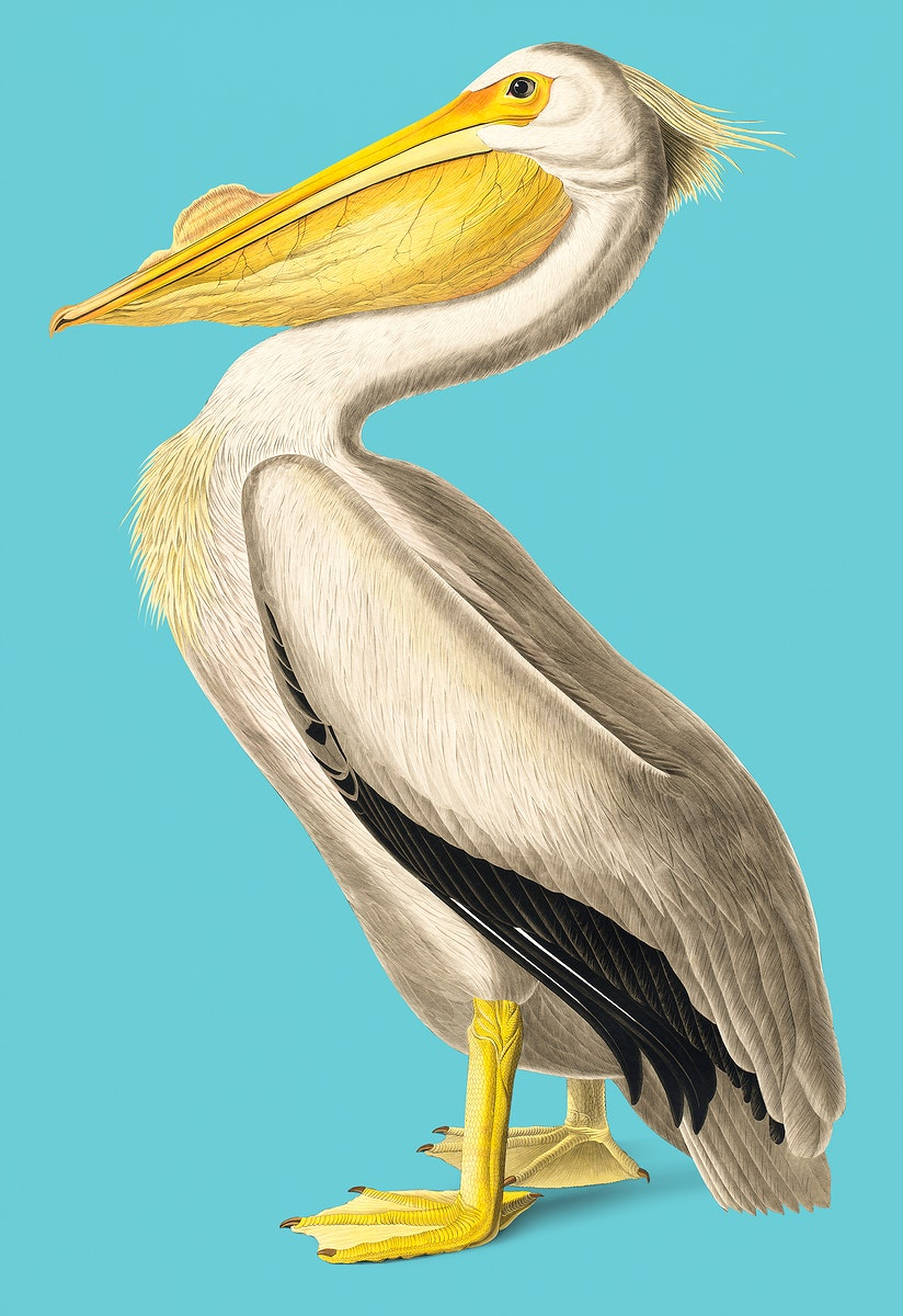 Vintage Illustration of American White Pelican.