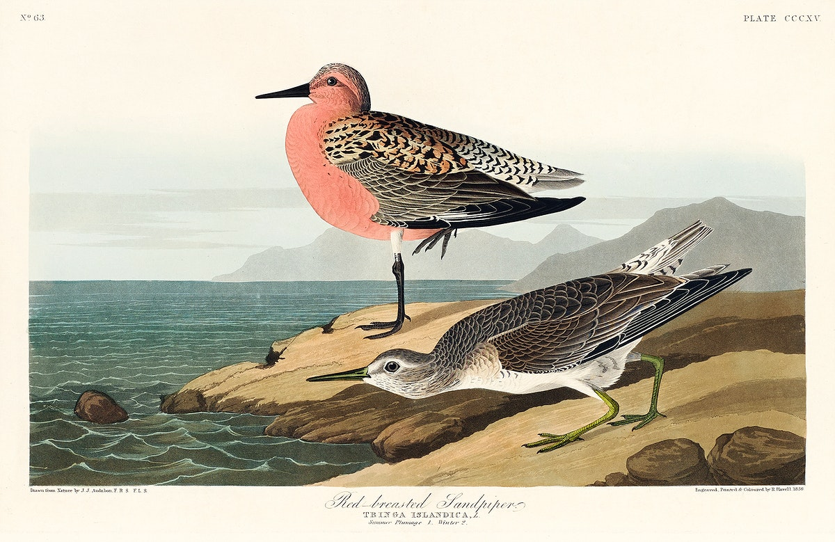 Red-breasted Sandpiper from Birds of America (1827) by John James Audubon, etched by William Home Lizars. Original from…