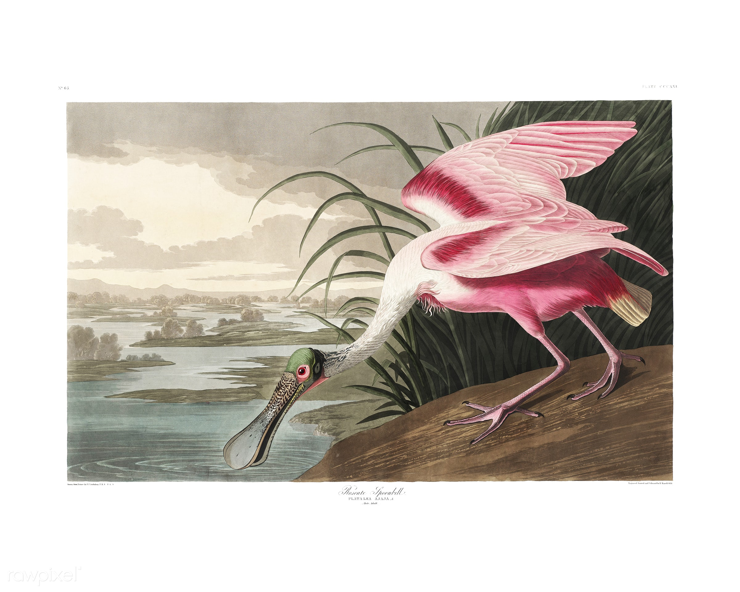 Roseate Spoonbill from Birds of America (1827) illustrated by John James Audubon (1785 - 1851), etched by Robert Havell (...
